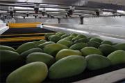 Mango exporter in sindh