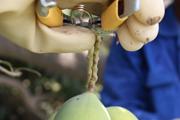 dusehri mango exporter