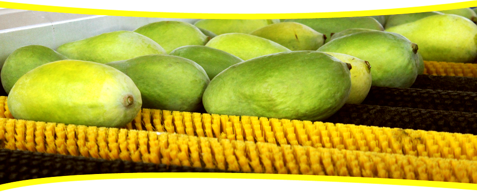 certified mango exporters in Asia