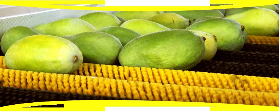 Mango exporter Pakistan